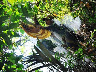 Nhọc nhằn nghề săn mật ong rừng
