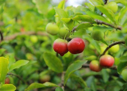 Không cưỡng nổi trước sức hấp dẫn của những vườn trái cây trĩu quả ở Bến Tre